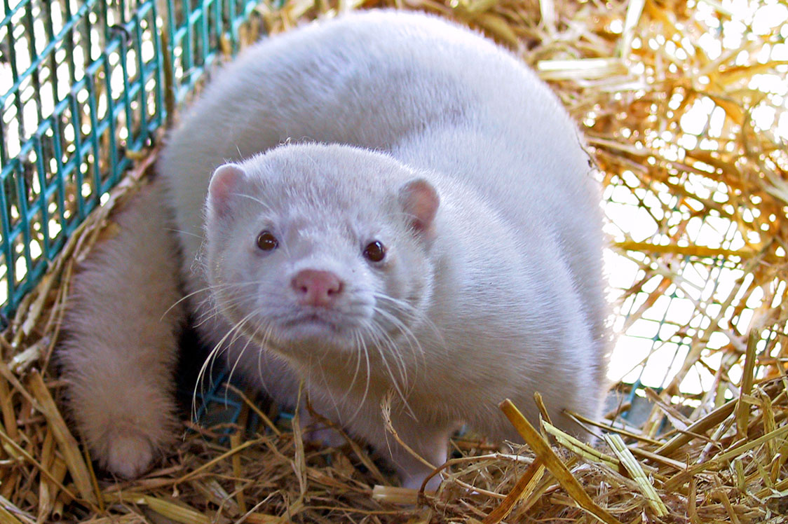 No International Recommendations to Cull Healthy Mink Herds